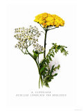 A. Clipeolata Achillea Lingulata Var Buglossis Poster av H.g. Moon