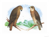 Hen Hawk and Swainson's Hawk Prints by Theodore Jasper