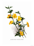 Jasminum Primulinum Prints by H.g. Moon