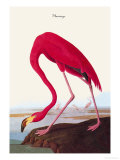 Flamingo Posters by John James Audubon