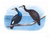 Violet Green Cormorant and Florida Cormorant Affiche par Theodore Jasper