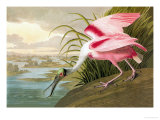 Roseate Spoonbill Poster von John James Audubon
