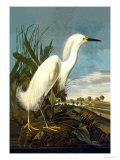 Aigrette neigeuse Affiches par John James Audubon