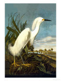 Snowy Egret Poster by John James Audubon
