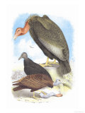 California Condor, Turkey Buzzard, and Carrion Crow Poster by Theodore Jasper
