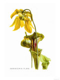 Sarracenia Flava Poster by H.g. Moon