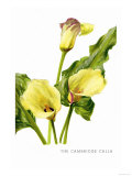 The Cambridge Calla Posters by H.g. Moon