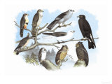 Femerol and Richardson's Falcons, Isabella Hawk, Acadian Owl Prints by Theodore Jasper
