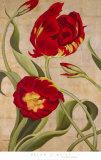 Tulip Tango I Print by Brian O'neill