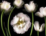 Jardine de tulipes Affiche par Pip Bloomfield