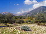 Olive Groves, Cephalonia, Ionian Islands, Greece, Europe Photographic Print by Jonathan Hodson