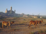 Cattle in Front of the Wankaner Palace, Gujarat, India Photographic Print by John Henry Claude Wilson