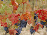 Autumn Colours in a Vineyard, Barbera Grape Variety, Barolo, Serralunga, Piemonte, Italy, Europe Photographic Print by Michael Newton