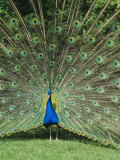 Male Peacock (Pavo Cristatus) Fanning Tail Photographic Print by Walter Rawlings
