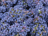 Close-up of Sangiovese Grapes for Chianti, Greve, Chianti Classico, Tuscany, Italy, Europe Photographic Print by Michael Newton