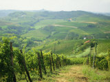 Typical Landscape of Vines in the Colli Piacentini, Piacenza, Emilia Romagna, Italy, Europe Photographic Print by Michael Newton