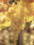 Close-up of Malvasia Grapes in Vineyard Outside Frascati, Frascati, Lazio, Italy, Europe Photographic Print by Michael Newton