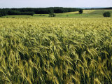 Grain Field, Agricultural Landscape, Near Retz, Lower Austria, Austria, Europe Photographic Print by Ken Gillham