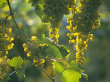 Garganega Grapes, Soave, Veneto, Italy, Europe Photographic Print by Michael Newton