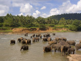 Elephants Bathing in the River, Pinnewala Elephant Orphanage Near Kegalle, Sri Lanka, Asia Lmina fotogrfica por Gavin Hellier