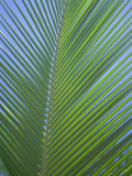 Detail of a Palm Tree Leaf (Frond), Mahe Island, Seychelles, Indian Ocean, Africa Photographic Print by Gavin Hellier