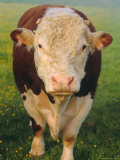 Portrait of a Hereford Bull, East Devon, England, UK Photographic Print by Michael Black