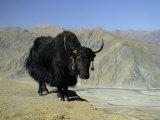 Yak, Tibet, Asia Fotografisk tryk af Gavin Hellier