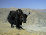 Yak, Tibet, Asia Photographic Print by Gavin Hellier