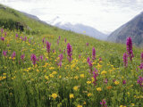 Wild Orchids Flowering in a Meadow in the Himalayas South of Keylong, Himachal Pradesh, India Photographic Print by Jenny Pate