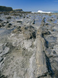 Catins Petrified Forest on the Coast, Otago, South Island, New Zealand, Pacific Photographic Print by Maurice Joseph