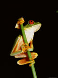 Red Eyed Tree Frog (Agalythnis Callidryas), South America Photographic Print by Philip Craven