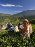 Women Tea Pickers, Tea Hills, Hill Country, Nuwara Eliya, Sri Lanka, Asia Photographic Print by Gavin Hellier