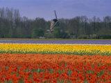 Tulip Fields and Windmill Near Keukenhof, Holland (The Netherlands), Europe Photographic Print by Gavin Hellier