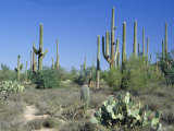 Saguaro Organ Pipe Cactus and Prickly Pear Cactus, Saguaro National Monument, Tucson, Arizona, USA Photographic Print by Anthony Waltham