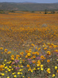 Wild Flowers in Spring, Namaqaland Hills, Cape Province, South Africa Photographic Print by Anthony Waltham
