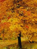 Ash Tree, Autumn Foliage, Peak District National Park, Derbyshire, England, UK, Europe Photographic Print by David Hughes