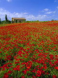 Field of Poppies and Barn, Near Montepulciano, Tuscany, Italy Photographic Print by Lee Frost