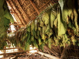 Tobacco Leaves on Racks in Drying Shed, Vinales, Cuba, West Indies, Central America Photographic Print by Lee Frost