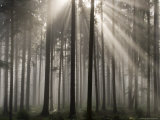 Misty Pine Forest, Nibelungengau, Austria, Photographic Print by Charles Bowman