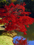 Brilliant Red Acer Palmatum Cripsii in Autumn, Sheffield Park Gardens, East Sussex, England Photographic Print by Ruth Tomlinson