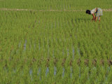 Share-Cropper Tending Rice in Paddyfield, Parganas District, West Bengal State, India, Asia Photographic Print by Duncan Maxwell