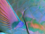Close up Detail of a Parrotfish Fin, Scarus Sp, Thailand Photographic Print by Louise Murray