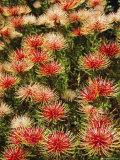 Protea, South Africa Fotografie-Druck von I Vanderharst