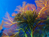 Featherstars Perch on the Edge of Gorgonian Sea Fans to Feed in the Current, Fiji, Pacific Ocean Photographic Print by Louise Murray
