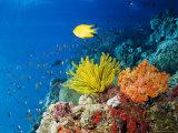 Louise Murray - Colourful Crinoids and Solt Corals at Hanging Gardens, Sipadan Island, Sabah, Malaysia Fotografická reprodukce