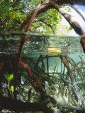 Mangrove Roots, Seychelles, Indian Ocean Fotografie-Druck von Louise Murray