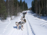 Driving Siberian Huskies, Karelia, Finland, Scandinavia, Europe Photographic Print by Louise Murray