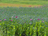 Opium Poppies are a Legal Crop for Production of Morphine, Sandinski, Bulgaria Photographic Print by Louise Murray