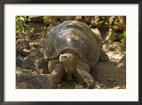 Lonesome George Last Surviver of the Race of the Galapagos Tortoise, Pinta Island, Galapagos Framed Photographic Print by David M. Dennis