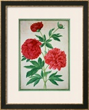 Peonies, Plate 46 from the Nassau Florilegium Framed Giclee Print by Johann Jakob Walther